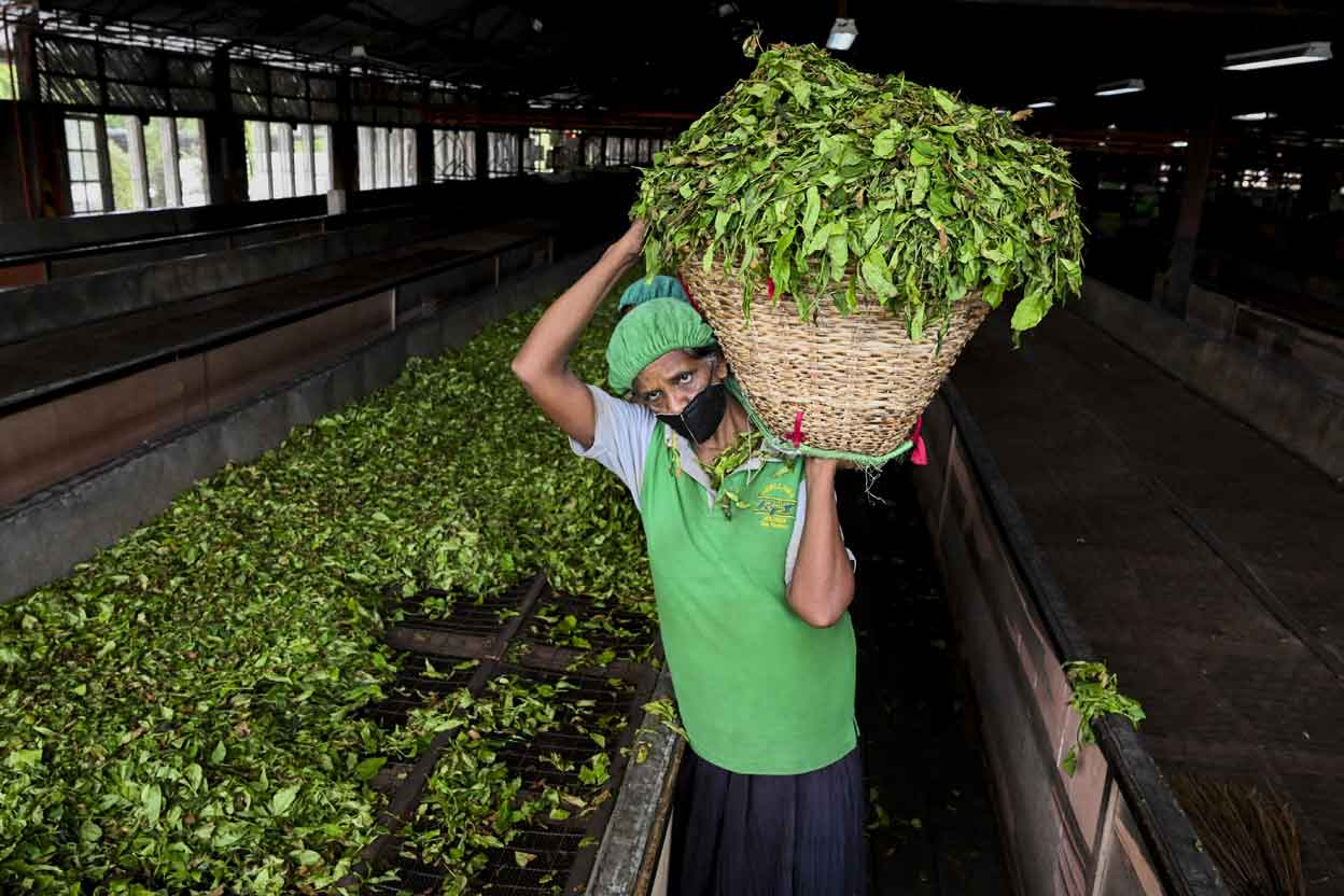 SRI LANKA-ECONOMY-AGRICULTURE-TEA