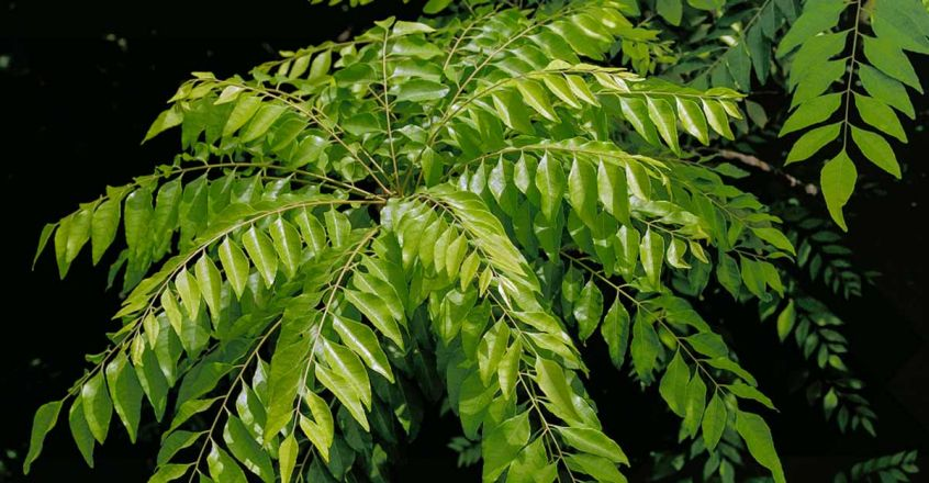 curry-leaves-face-pack-to-prevent-acne