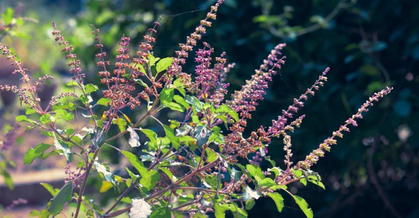 get-healthy-and-lustrous-hair-with-tulsi