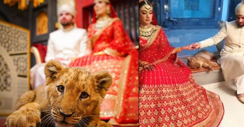 social-media-criticism-over-sedated-lion-cub-in-wedding-photoshoot