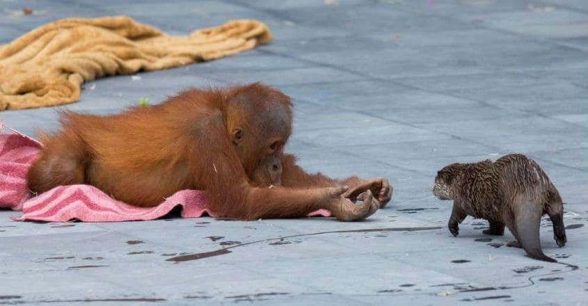 otter-orangutan-fun