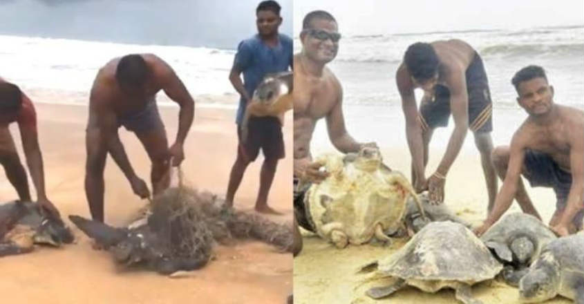 Olive-ridley-turtle-rescue