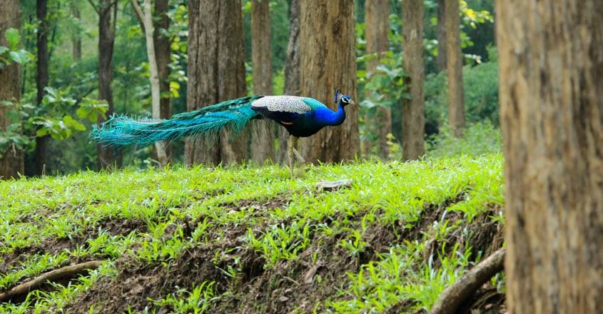 Parambikulam-Tiger-Reserve12
