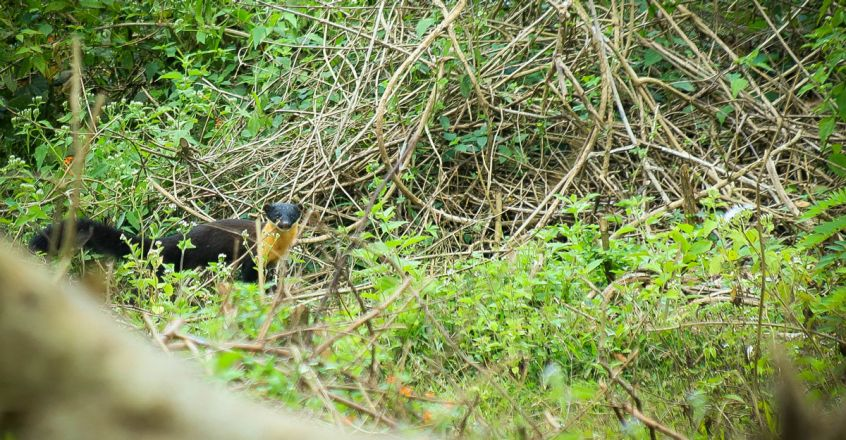 Sightings-of-Nilgiri-Marten-2
