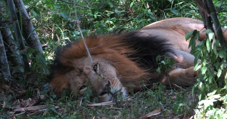 1Lion_at_tiger_lion_safari_shimoga_India