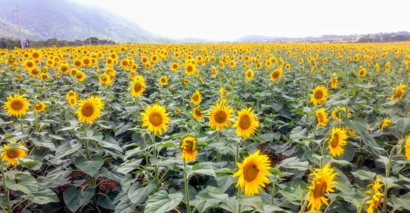 SUNFLOWER-feild