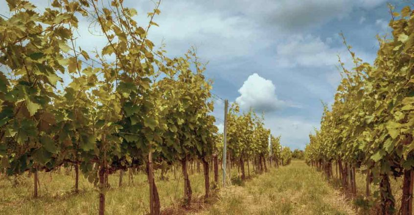 Big-Banyan-Vineyard1