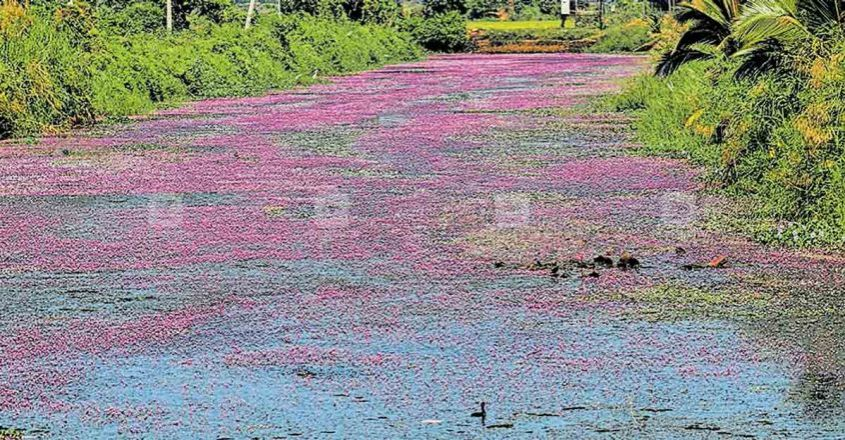 thrissur-waterlily