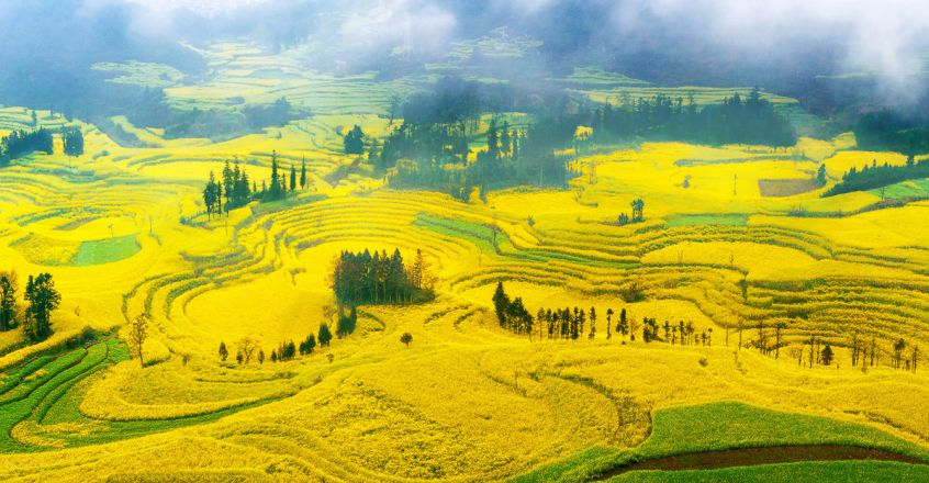 Canola-Flowers-in-Luoping,-China
