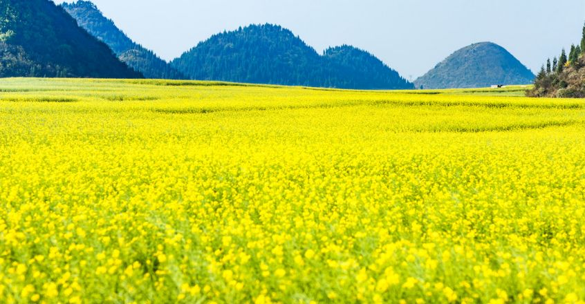 Canola-Flowers-in-Luoping,-China2