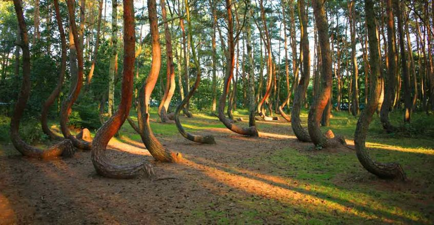 The-Crooked-Forest1